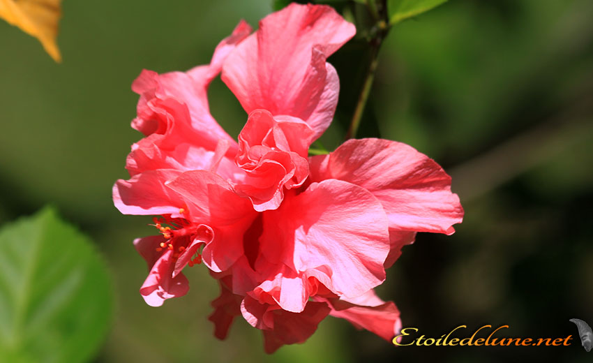 image_nouvelle_caledonie_fleurs (17)