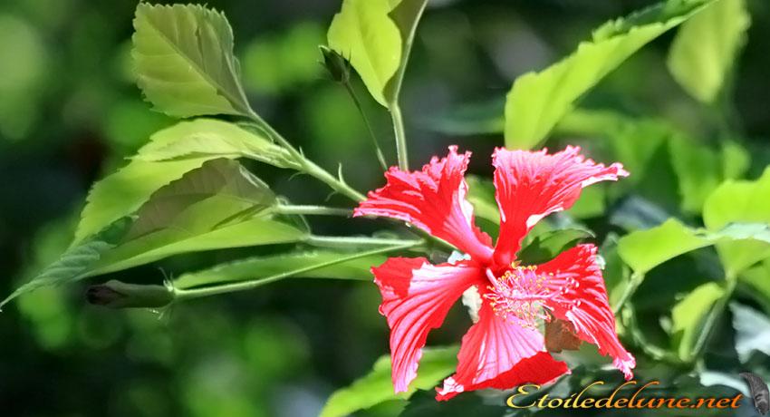 image_nouvelle_caledonie_fleurs (20)
