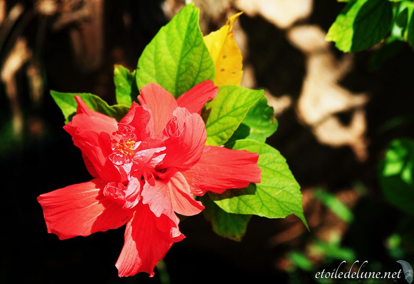 image_nouvelle_caledonie_fleurs (39)