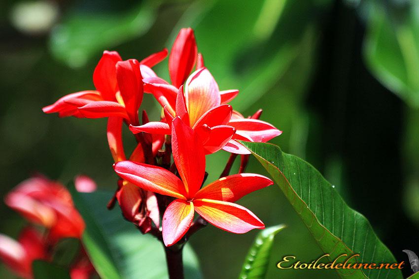 image_nouvelle_caledonie_fleurs (41)