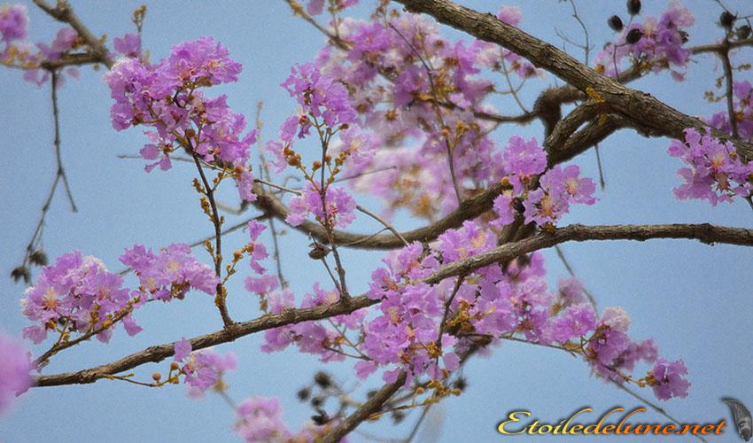FLORE DE THAILANDE et Cambodge(17)