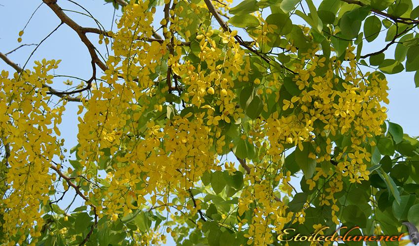 fleur sacree de Thailande_couleur du roi