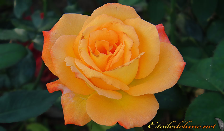 roses montagnes de Thailande (1)