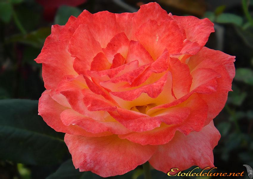 roses montagnes de Thailande (2)