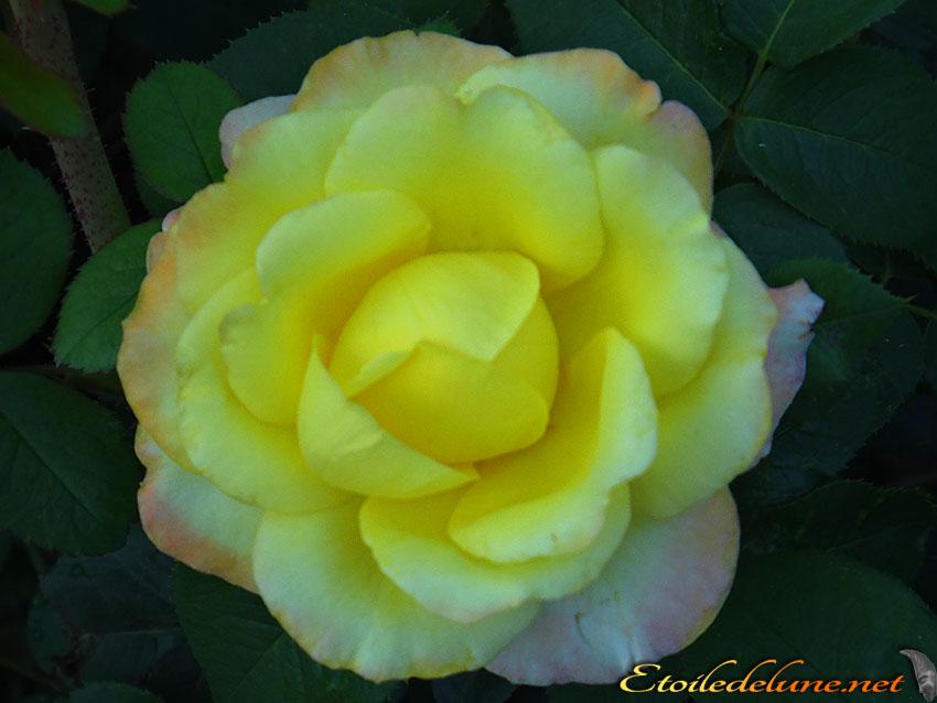 roses montagnes de Thailande (3)