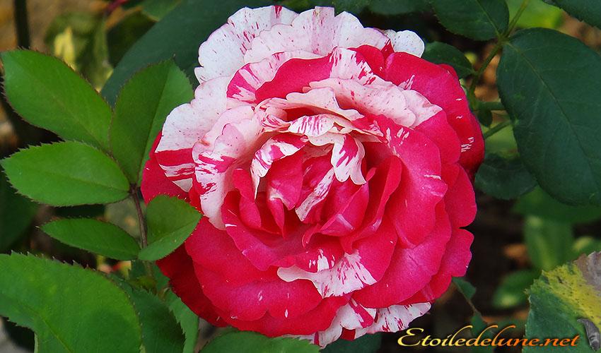 roses montagnes de Thailande (4)