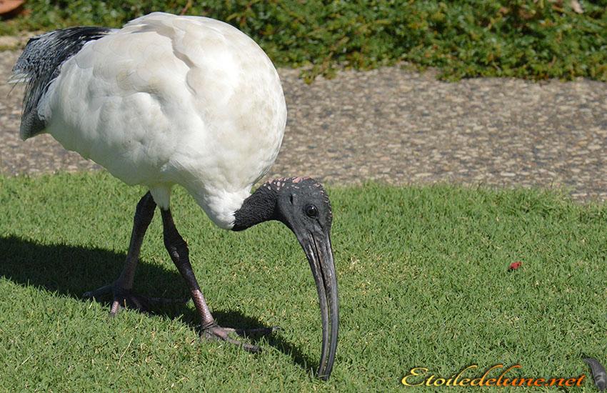 AUSTRALIE_faune_ (11) ibis daustralie