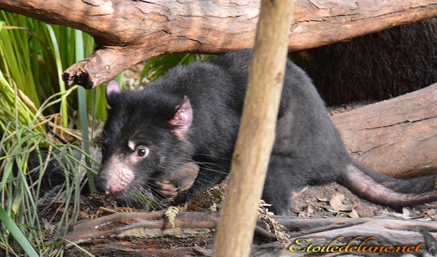 AUSTRALIE_faune_ (23) diable de Tasmanie