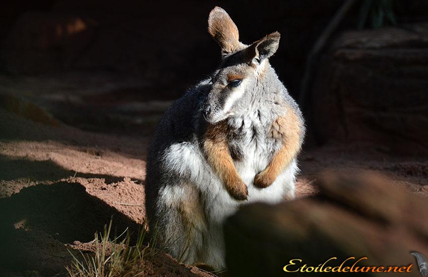 AUSTRALIE_faune_ (27) Kangourou