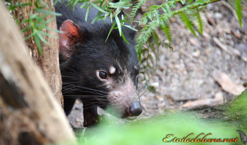 AUSTRALIE_faune_ (33) diable de Tasmanie