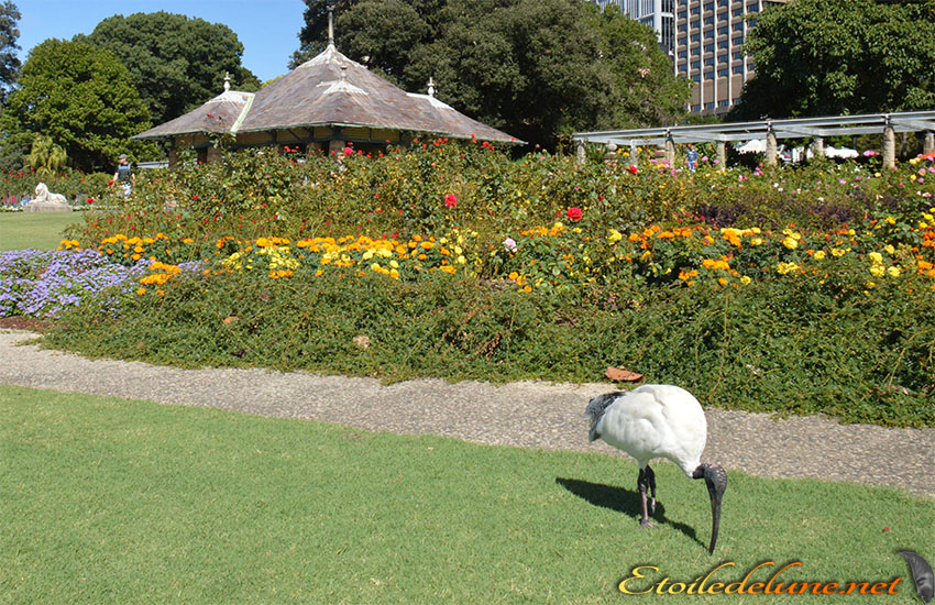 AUSTRALIE_faune_ (5)Threskiornis spinicollis