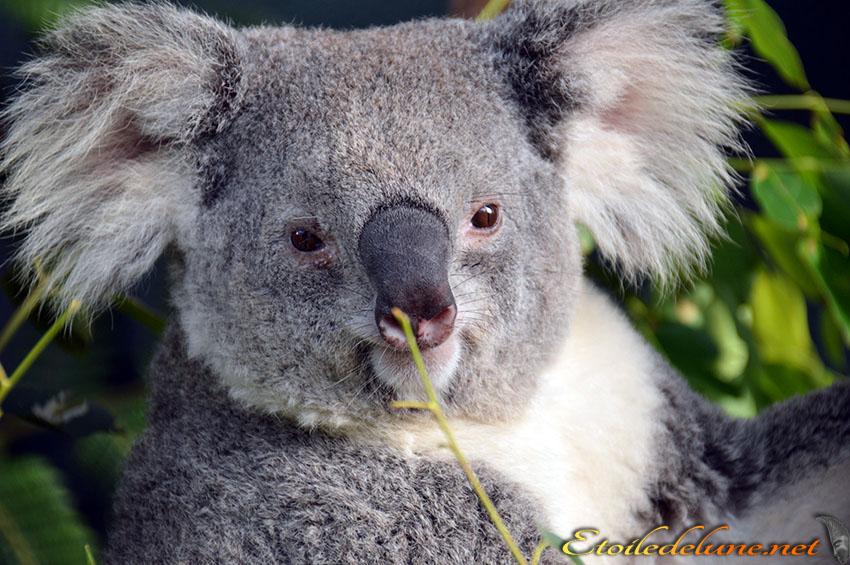 AUSTRALIE_faune_ (9) KOALA