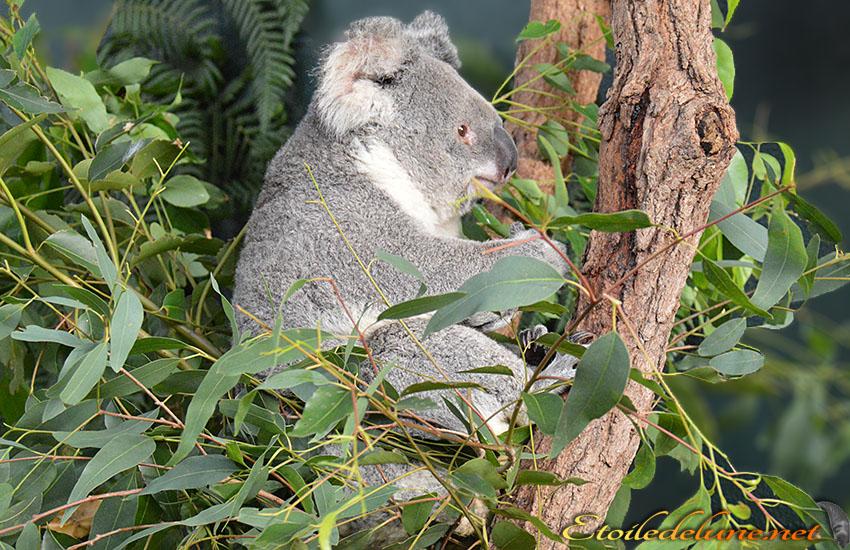 AUSTRALIE_faune_ KOALA