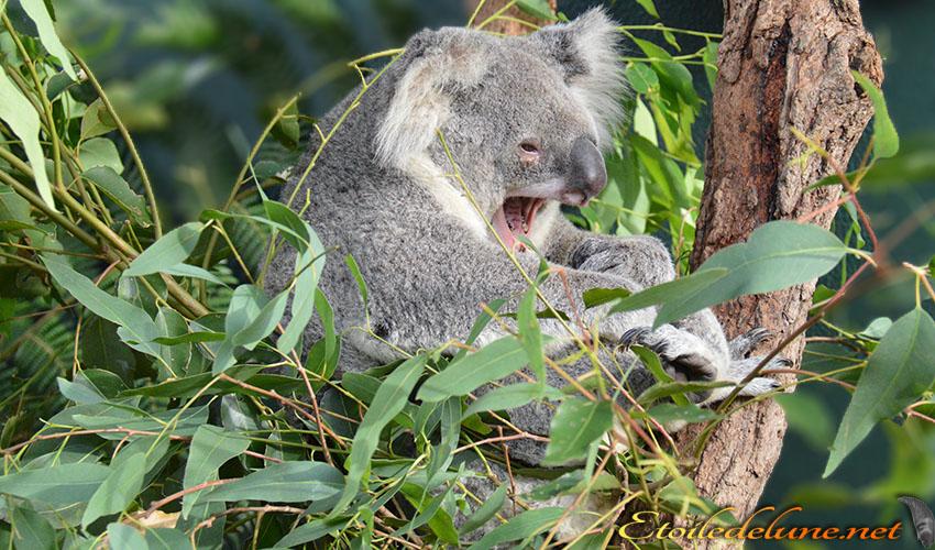 AUSTRALIE_faune_ koala en pleine action