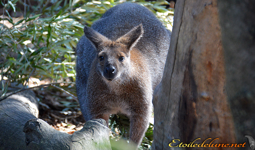 AUSTRALIE_faune_ marsupiaux
