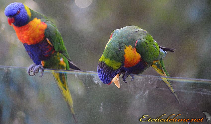 AUSTRALIE_faune_ perruches_05