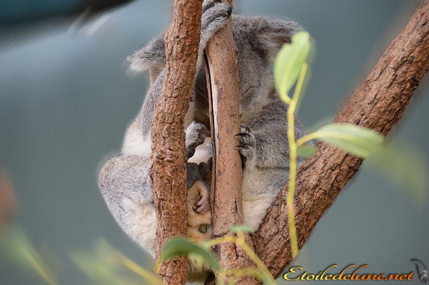 AUSTRALIE_koala_BB dans le tiroir