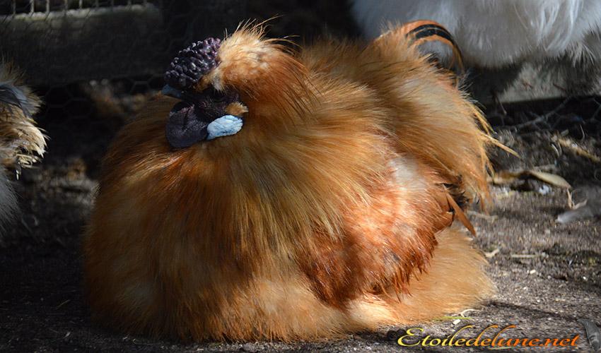 AUSTRALIE_poules_01