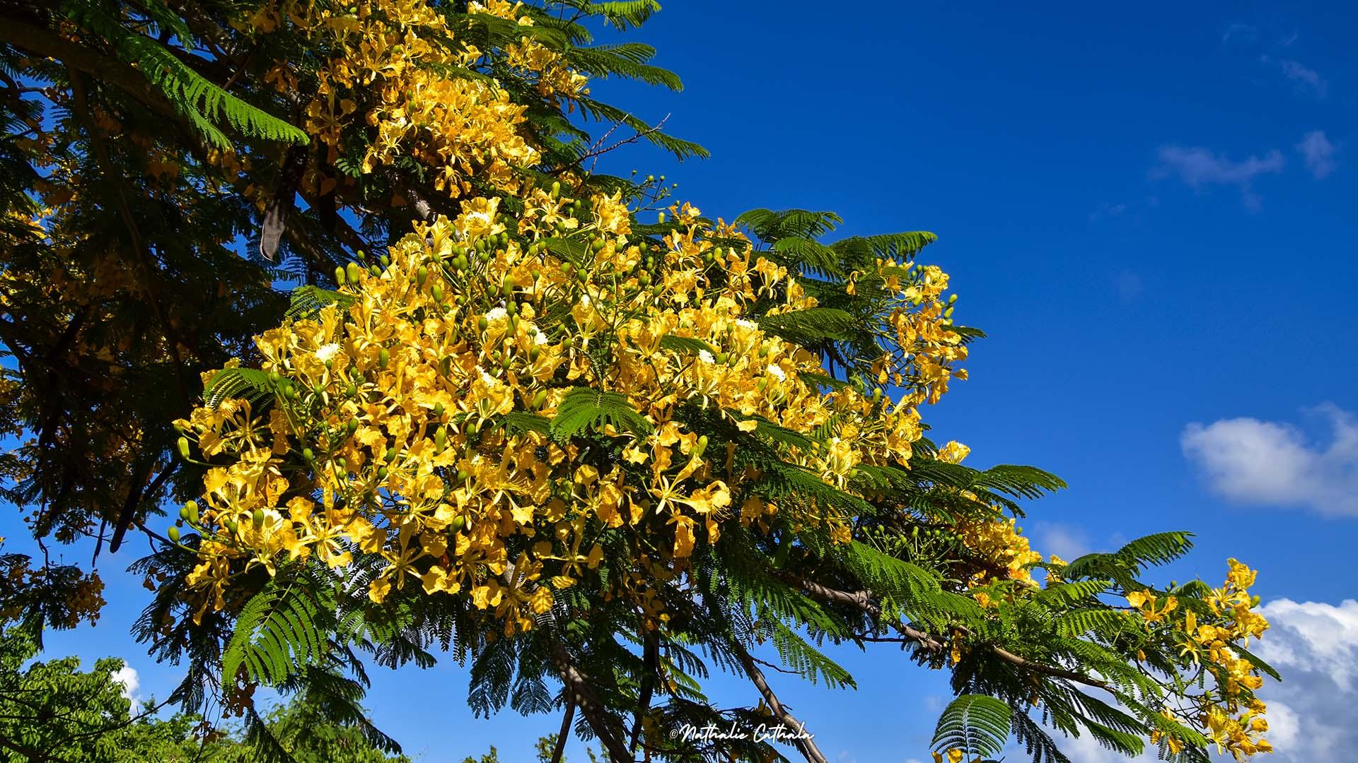 flamboyant jaune
