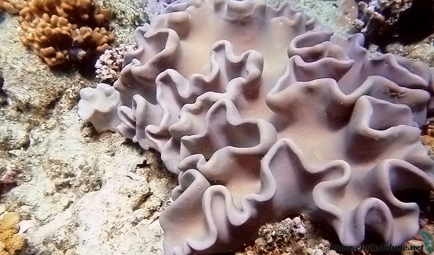Randonnée dans le lagon: le corail mou