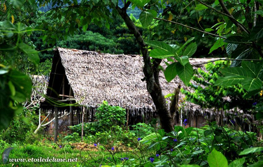 VANUATU : le natangora arbre indispensable