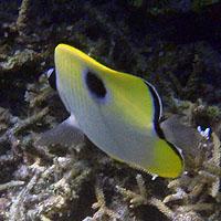 Petits poissons colorés de Lifou