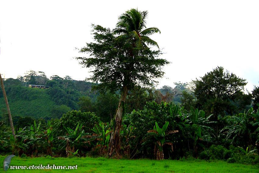 VANUATU : le banian, arbre surprenant