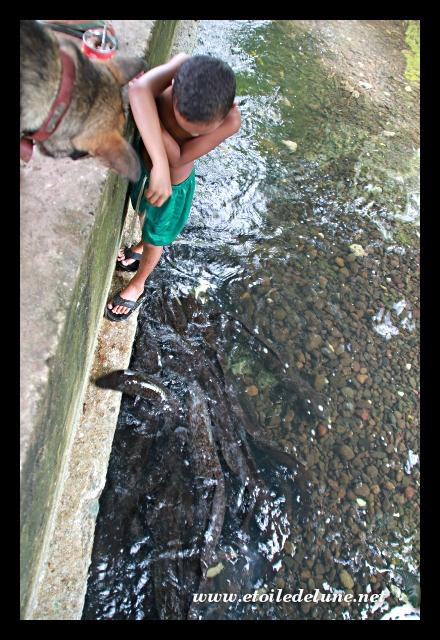 HUAHINE : les anguilles sacrées, de sacré s morceaux!