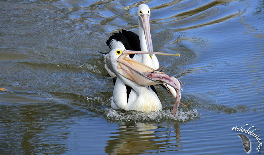 Nuestros amigos… Los pelicanos