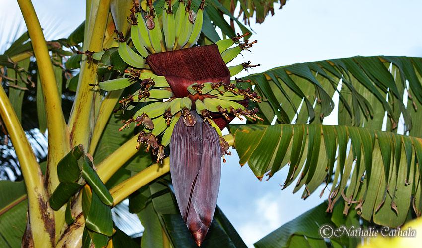 La bananier, compagnon de voyage sous les Tropiques