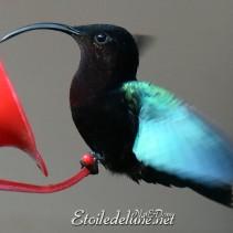 Gentil colibris