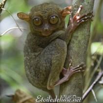 Le tarsier, peluche fragile à protéger (Bohol)