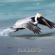 Grenadines 3/4, «Nuestros amigos, los Pelicanos»