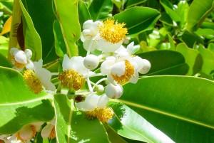 Fleur du Takamaka ou tamanu