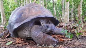Aldabrachelys gigantea Tortue des Seychelles