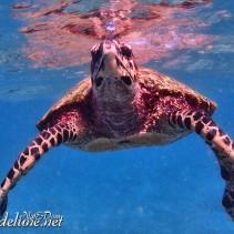Princesses océanes, nager avec les tortues (La Digues, Seychelles)