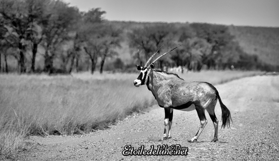 NAMIBIE ORYX