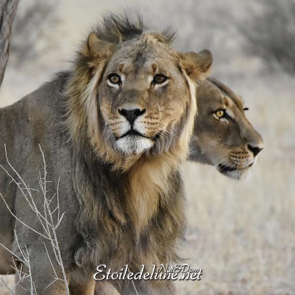 Couple de lions dans la savane