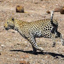 Escale à Palmwag une faune riche, un léopard traqué