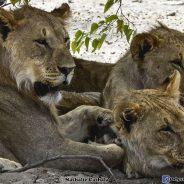 L'arche de Noé, Etosha la journée des lions (épisode 2)