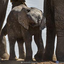 L'arche de Noé : Etosha rassemblement de 60 éléphants  (épisode 3)