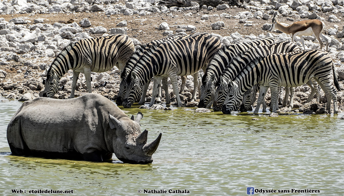 L'arche de Noé : Etosha rhinos, lions, éléphants … (épisode 4)