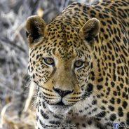 Une famille au chevet des léopards et des guépards.