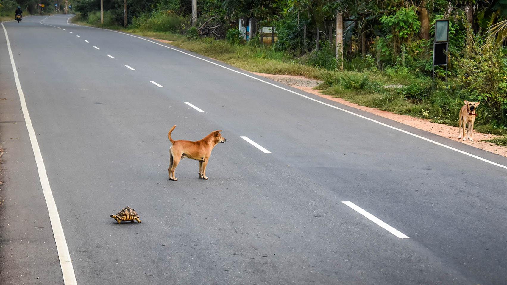 Sri lanka - route - tortue - chien