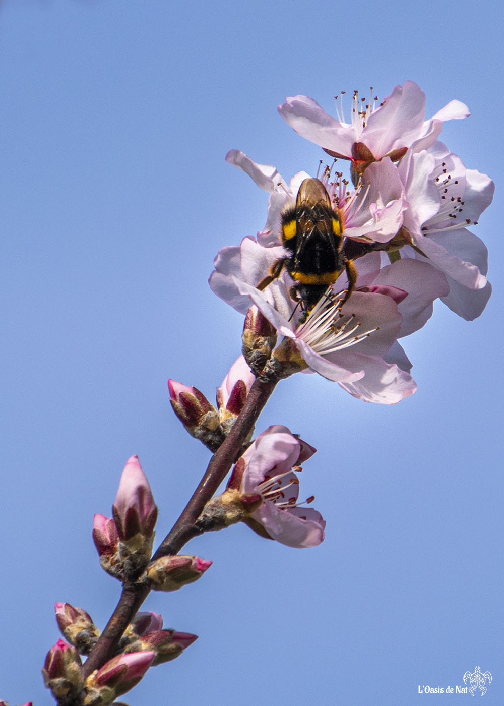 L'amandier, fleurit en février autour de la Méditerranée