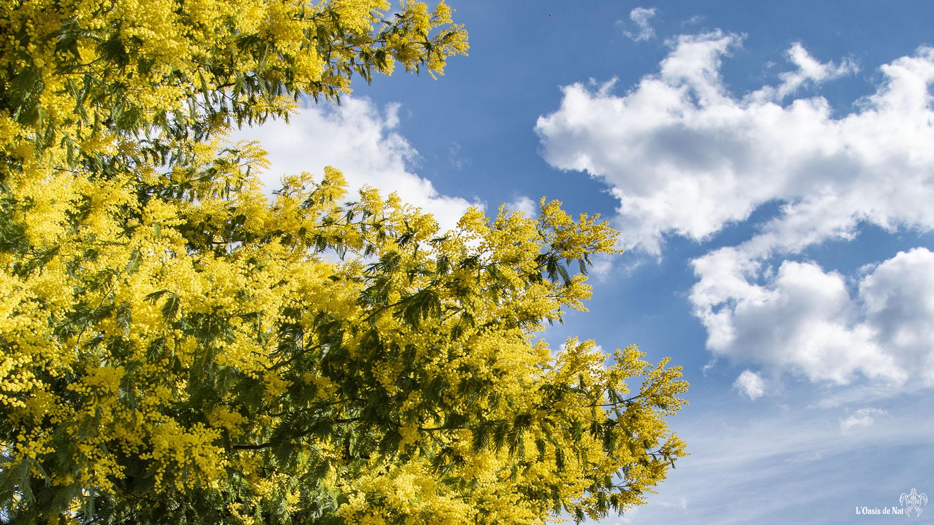 Le mimosa capte chaque rayon du soleil d'hiver